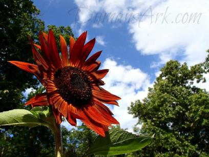 Red Velvet Queen Sunflower